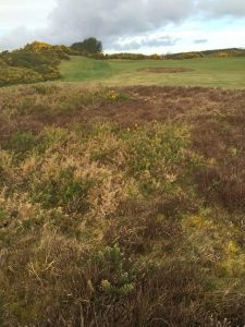 11th heather before gorse removal